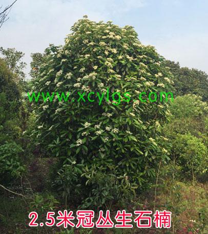 2.5米灌丛生石楠