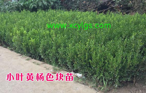 小叶黄杨色块苗1