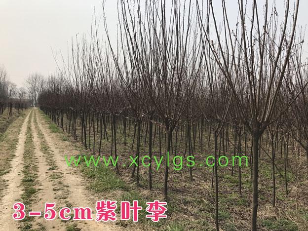 3-5cm紫叶李